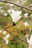 De Magnoliabloei van bloemeninstallaties in de lente Stock Foto's