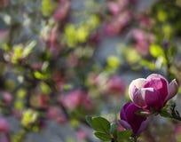 De magnoliabloemen van de close-uplente Natuurlijke bloemen de lenteachtergrond met zacht nadruk en onduidelijk beeld Royalty-vrije Stock Foto's