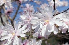 De magnoliabloemen van de ster in de vroege lente Royalty-vrije Stock Afbeeldingen