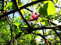 De magnoliatuin, de botanische tuin en de roze magnolia's komen tot bloei Royalty-vrije Stock Fotografie