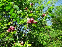 De magnoliatuin, de botanische tuin en de roze magnolia's komen tot bloei royalty-vrije stock foto's