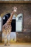 5 de maio de 2013 - girafa agradável no jardim zoológico de Londres, Inglaterra, Reino Unido Foto de Stock