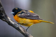 1? de maio de 2019 Windsor Ontario Canada Ornithology Birds Baltimore Oriole Perch Natural Background Bokeh fotografia de stock