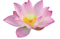 De majestueuze bloem van Lotus Stock Afbeelding