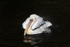 De majestueuze mooie vogel krullende witte Pelikaan het bespatten pret binnen Royalty-vrije Stock Afbeeldingen