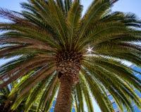 De majestueuze Palm van Californië Stock Afbeelding