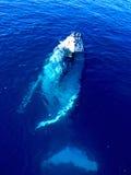 De majestueuze Walvis van de Gebochelde in de grote blauwe oceaan Royalty-vrije Stock Afbeelding