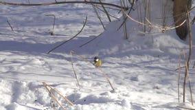 De majoor van Parus van de vogelkoolmees vliegt omhoog en zit op een droog grassprietje, langzame motie stock footage