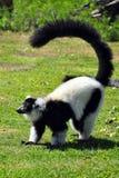De maki van Madagascar Stock Foto