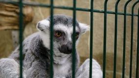 De maki zit droevig bij de dierentuin achter de kooi stock videobeelden