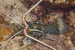 In de Maldiven, wacht het insect op zijn prooi onder koraal onderwater, hoe gecamoufleerd stock foto