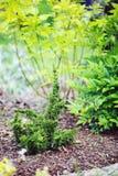 ` De Maloyana Holub del ` del Thuja plantado en jardín en frontera mezclada imágenes de archivo libres de regalías