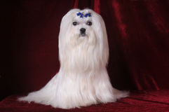 De Maltese hond zit op rood fluweel Royalty-vrije Stock Fotografie