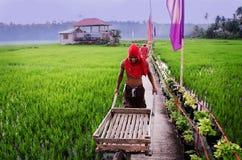 De Man die aan padieveld bij Bohol-eiland werken Royalty-vrije Stock Foto's
