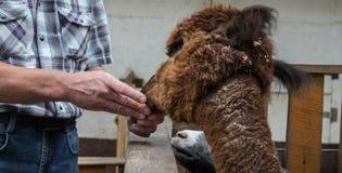 De man voedt alpaca in de dierentuin stock afbeelding