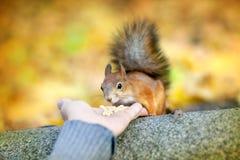 De man voedt een eekhoorn Stock Afbeelding