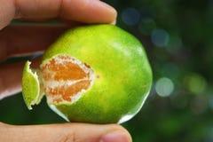 De mandarijn van de handholding royalty-vrije stock afbeeldingen