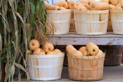 De manden van de bushel butternutpompoen Royalty-vrije Stock Foto