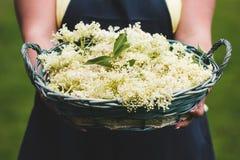 De Mandhoogtepunt van de vrouwenholding van enkel Geplukte Elderflower royalty-vrije stock foto's