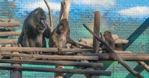 De mandril (Mandrillus-sfinx) is een primaat van de familie Oude van de Wereldaap (Cercopithecidae) royalty-vrije stock foto