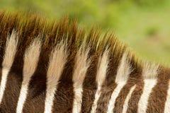 De manen van de zebra Stock Foto's