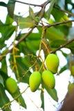 De mango is één keer per jaar een fruit met seizoengebonden vruchten, de meeste opbrengsten Royalty-vrije Stock Afbeelding