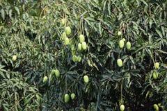 De mango's van de boom worden gehangen die stock afbeelding