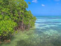 De Mangrove van het Saonaeiland Stock Afbeeldingen