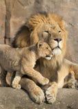 De mannelijke Afrikaanse leeuw wordt geknuffeld door zijn welp tijdens een hartelijk ogenblik Stock Foto