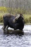 De mannelijke Amerikaanse elanden van het wild Stock Foto
