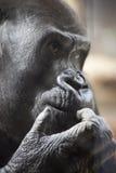 De mannelijke Close-up van de Gorilla Royalty-vrije Stock Afbeeldingen