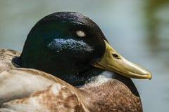 De mannelijke close-up van de wilde eendeend royalty-vrije stock foto