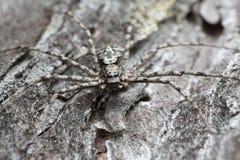 De mannelijke die spin van de philodromidkrab, Philodromus-margaritatus op gebrande pijnboomschors wordt gecamoufleerd stock afbeeldingen