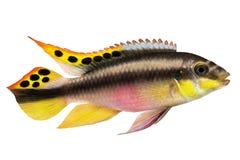 De mannelijke die vissen van het kribensis cichlid Aquarium van Pelvicachromis pulcher op wit worden geïsoleerd royalty-vrije stock afbeeldingen