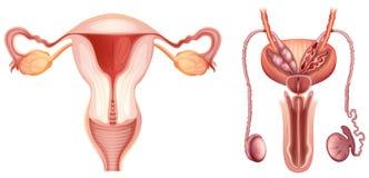 De mannelijke en vrouwelijke reproductieve systemen Stock Foto's