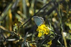 De mannelijke gemeenschappelijke blauwe vlinder zit op een gele bloem Stock Foto