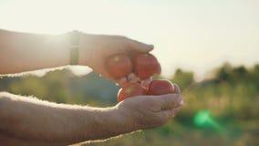 De mannelijke handen breidt zich met rijpe tomaten uit tot de zon en toont bij camera 4K stock footage