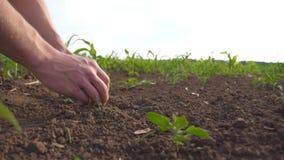 De mannelijke handen van landbouwer houdt het handvol van grond in zijn wapens en controleert bodemvruchtbaarheid op cornfield Jo stock footage