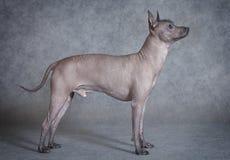De mannelijke hond van kale Xoloitzcuintle tegen grijze achtergrond Royalty-vrije Stock Afbeelding