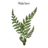 De mannelijke installatie van filix-mas van varendryopteris met bladeren royalty-vrije illustratie