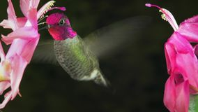 De mannelijke kolibrie toont agressie het tjilpen geluid tussen 2 bloemen stock footage