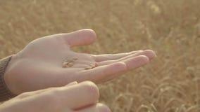 De mannelijke korrel van de de holdingstarwe van de landbouwershand bij landbouwgrondgebied Het oogsten Concept stock videobeelden