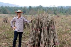 De mannelijke landbouwer status met met de handen in de zij en één hand vangen het lidmaat van tapiocainstallatie die samen de st royalty-vrije stock fotografie