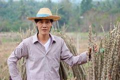 De mannelijke landbouwer status met met de handen in de zij en één hand vangen het lidmaat van tapiocainstallatie die samen de st royalty-vrije stock afbeelding