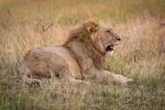 De mannelijke leeuw ligt in gras kijkend slaperig stock afbeelding