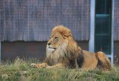 De mannelijke leeuw regelt Royalty-vrije Stock Afbeeldingen