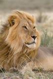 De mannelijke leeuw van Kalahari in de wind Stock Afbeelding