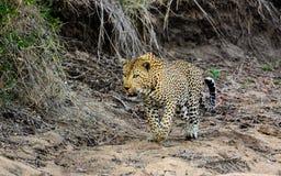 De mannelijke luipaard op snuffelt rond Royalty-vrije Stock Afbeelding
