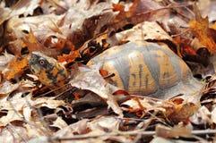 De mannelijke Oostelijke Schildpad van de Doos royalty-vrije stock afbeeldingen