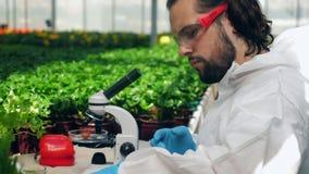 De mannelijke plantkundige controleert rijpe tomaten terwijl het werken met een microscoop stock video